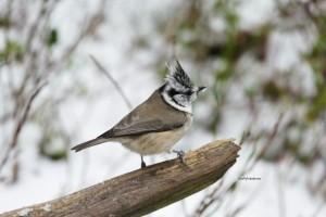 Rakastan seurata lintuja ja kuunnella niiden viserrystä