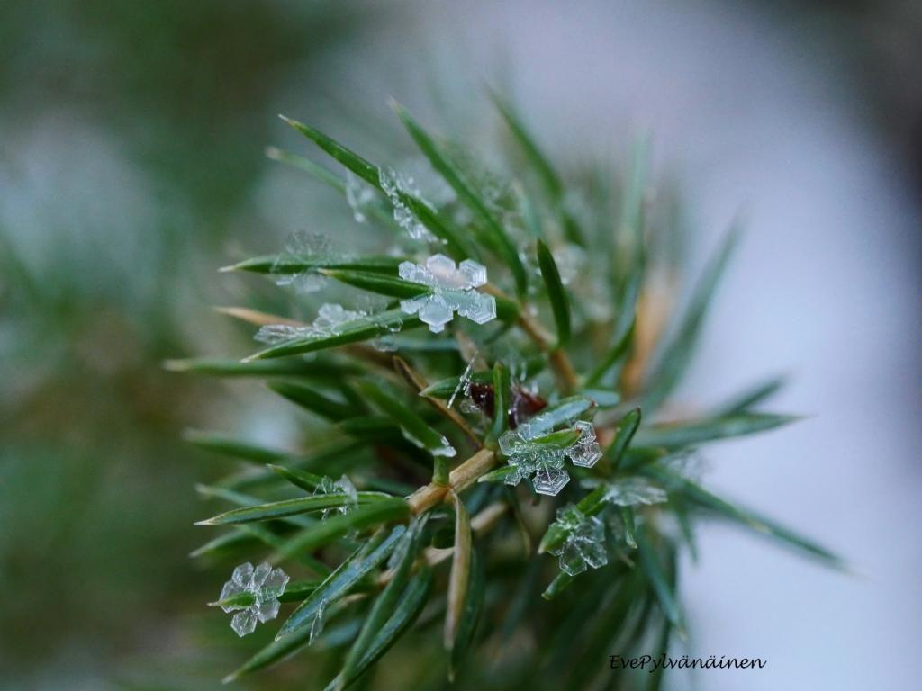 Kataja kukkii jääkukkia